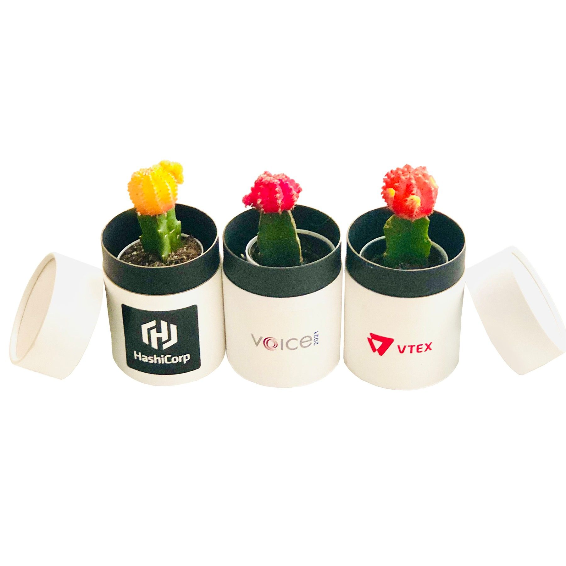 Assorted Colorful Cactus In White Roud Box